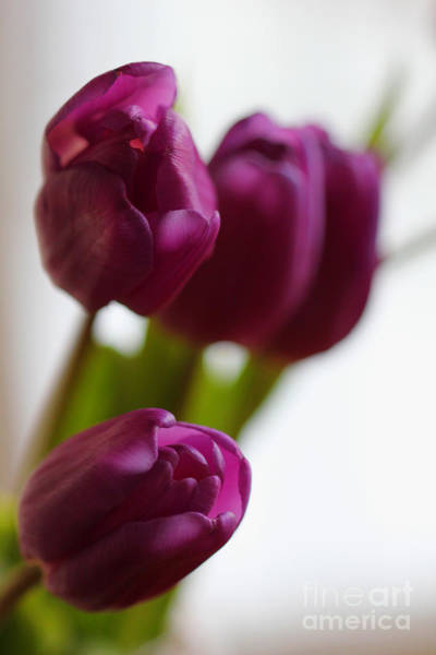 Photograph - Purple Tulips by Donna L Munro