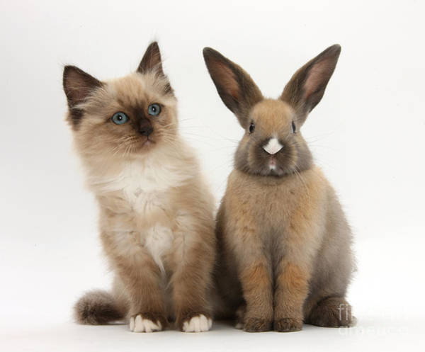 Photograph - Ragdoll-cross Kitten And Young Rabbit by Mark Taylor
