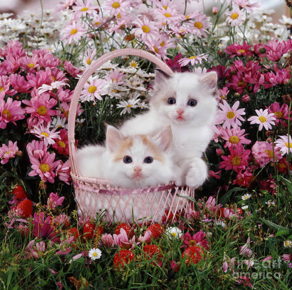 Photograph - Ragdoll-cross Kittens by Jane Burton