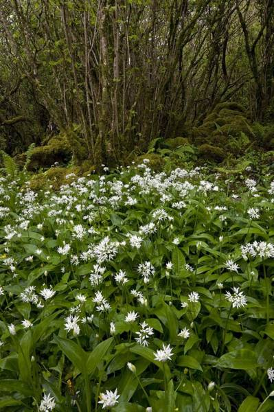 Coppice Photograph - Ramsons (allium Ursinum) by Bob Gibbons
