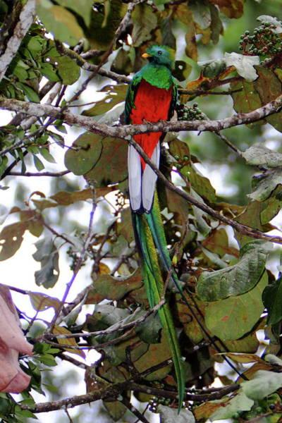 Quetzals Photograph - Resplendent Quetzal by Bruce J Robinson