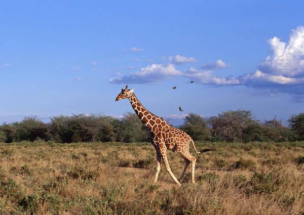 Giraffe Photograph - Reticulated Giraffe by Datacraft Co Ltd