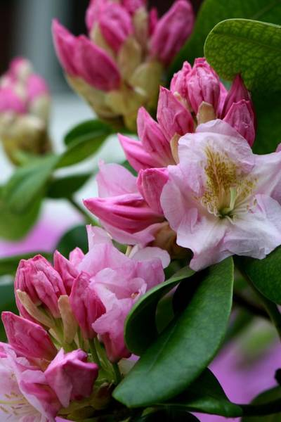 Wall Art - Photograph - Rhododendron In Bloom by Valia Bradshaw