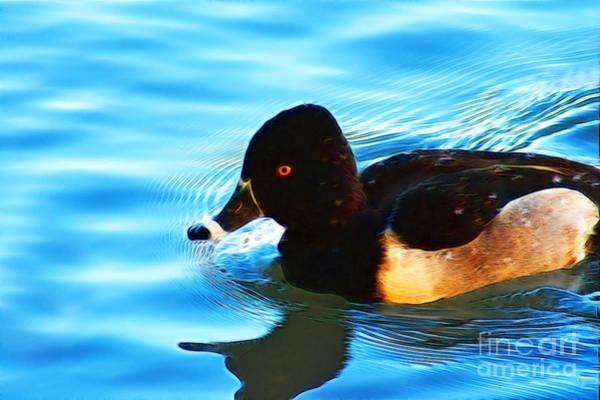 Photograph - Ringbill Duck by Donna Greene