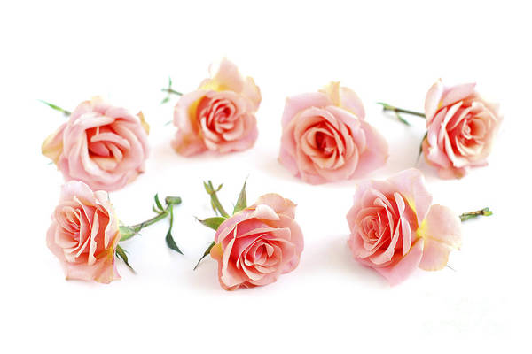 Wedding Flower Photograph - Rose Blossoms by Elena Elisseeva