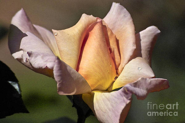 Photograph - Rose Flower by Heiko Koehrer-Wagner