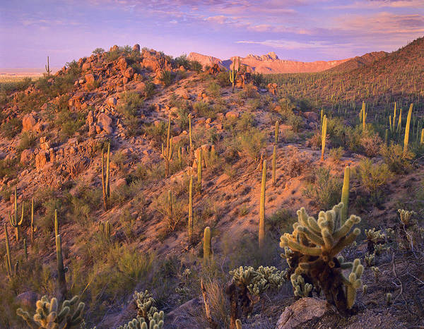 Cylindropuntia Bigelovii Photograph - Saguaro And Teddybear Cholla by Tim Fitzharris