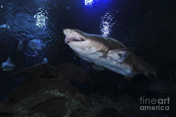 Photograph - Sand Tiger Shark, Blue Zoo Aquarium by Mathieu Meur