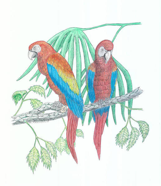Blue Parrot Drawing - Scarlet Macaw by Richard Freshour