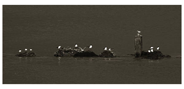 Wall Art - Photograph - Seagulls On Rocks- St Lucia by Chester Williams