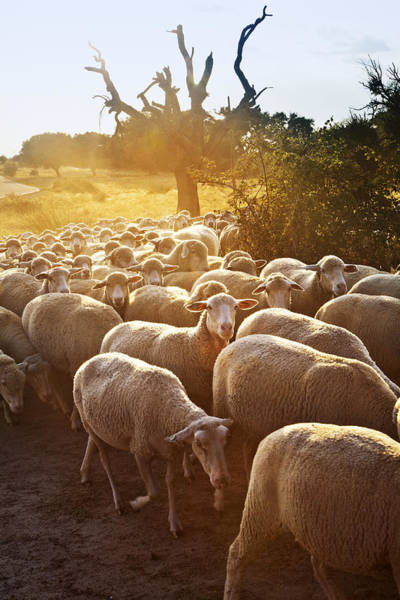 Wall Art - Photograph - Sheeps In Dehesa, Typical Pasture Of Extremadura by Gonzalo Azumendi