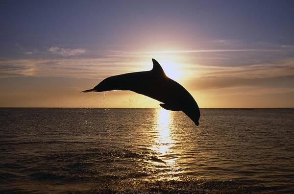 One Of A Kind Photograph - Silhouette Of Bottlenose Dolphin by Natural Selection Craig Tuttle