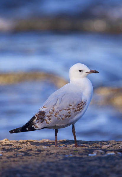 Photograph - Silver Gull by Paul Svensen