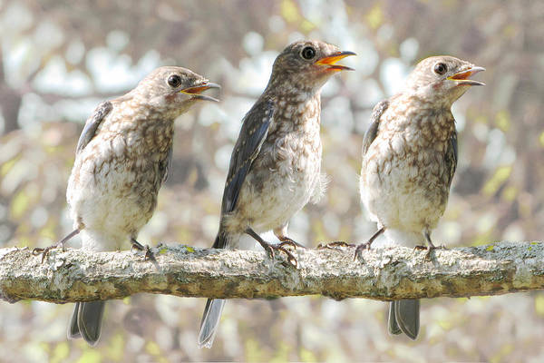 Baby Bird Photograph - Sing Sing Sing by Amy Tyler
