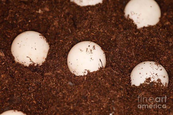 Snapping Wall Art -  - Snapping Turtle Eggs by Ted Kinsman