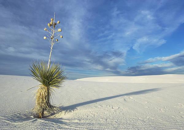 Yucca Elata Wall Art - Photograph - Soaptree Yucca (yucca Elata) by Bob Gibbons