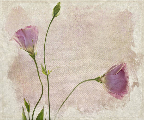 Pink Flowers Wall Art - Photograph - Softly by Rebecca Cozart