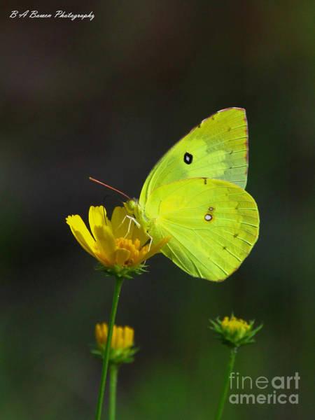 Photograph - Southern Dogface Butterfly by Barbara Bowen