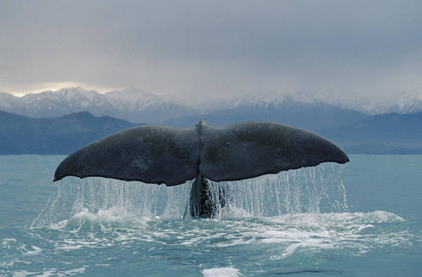 Photograph - Sperm Whale Tail New Zealand by Flip Nicklin