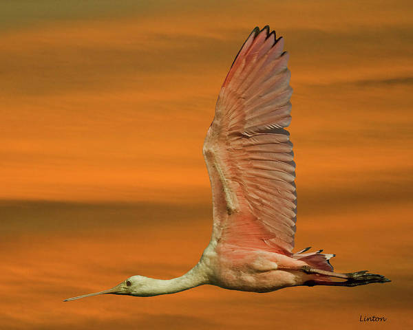 Photograph - Spoonbill At Sunrise by Larry Linton