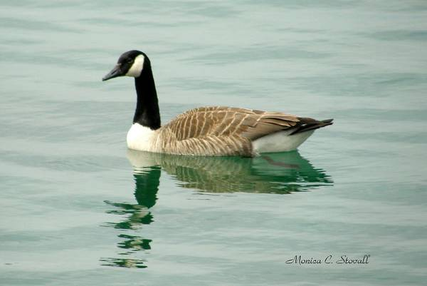 Photograph - Spring Collection - Goose In Bay Harbor by Monica C Stovall