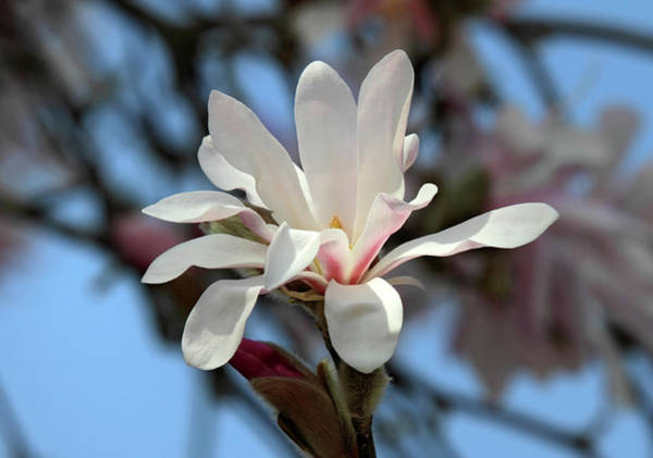 Photograph - Star Magnolia  by Pierre Leclerc Photography