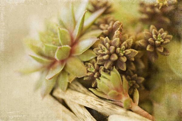 Succulent Photograph - Succulents by Bonnie Bruno