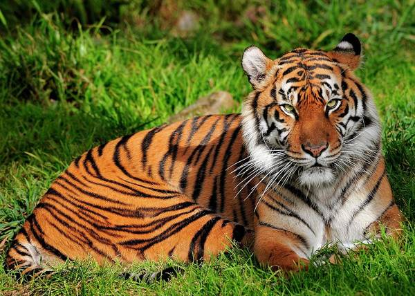 Photograph - Sumatran Tiger  by Bill Dodsworth