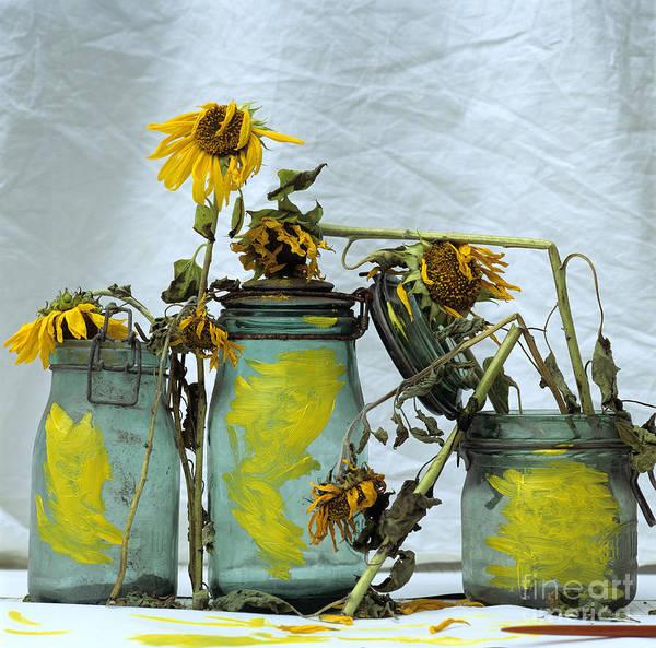 Wilt Photograph - Sunflowers .helianthus Annuus by Bernard Jaubert