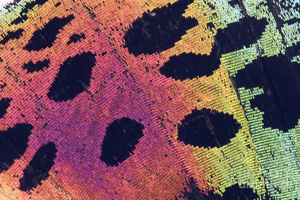 Photograph - Sunset Moth Urania Ripheus by Ted Kinsman