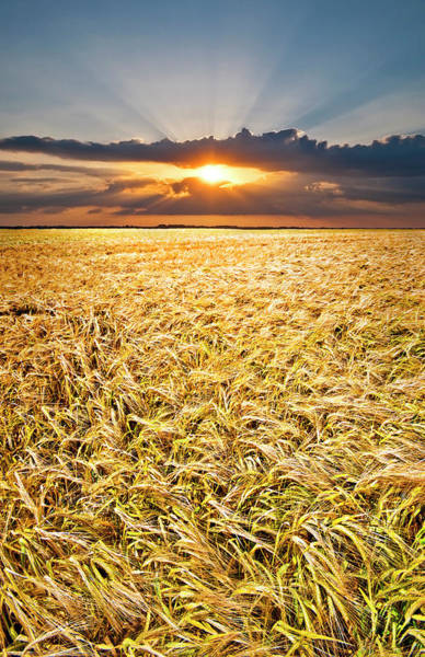 Photograph - Sunset Wheat by Meirion Matthias