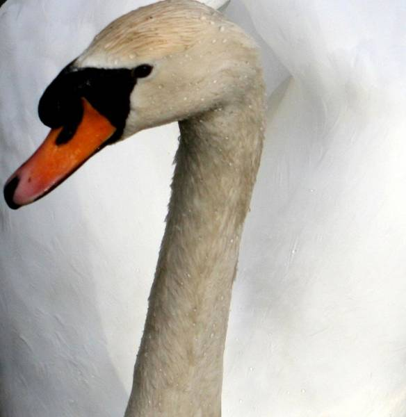 Wall Art - Photograph - Swan Beauty by Valia Bradshaw