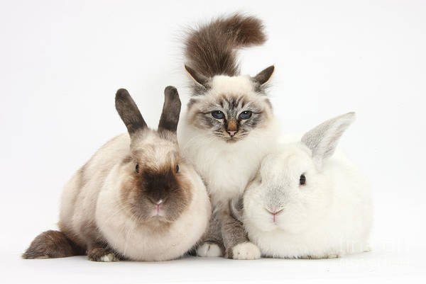 Photograph - Tabby-point Birman Cat And Rabbits by Mark Taylor