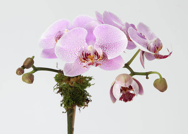 Branch Photograph - The Branch Of A Flowering Orchid by Nicholas Eveleigh