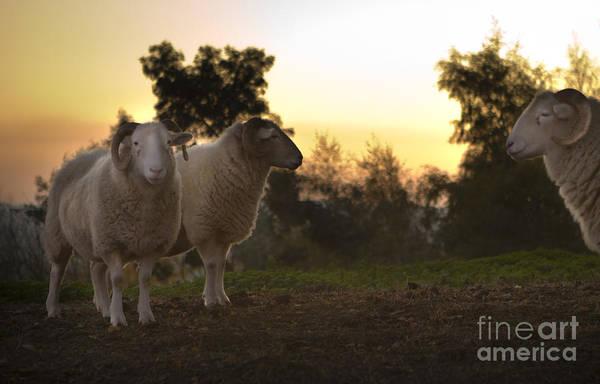 Sheep Photograph - The Lamb by Angel Ciesniarska