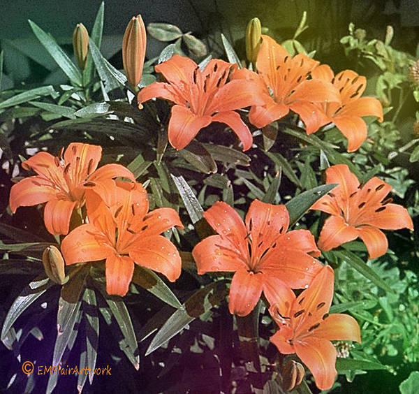 Tigerlily Wall Art - Photograph - Tigerlily by Eileen Blair