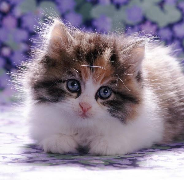 Photograph - Tortoiseshell-and-white Kitten by Jane Burton