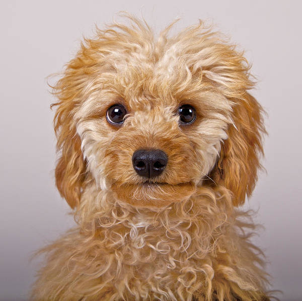 Poodle Photograph - Toy Poodle by Michael Mulick