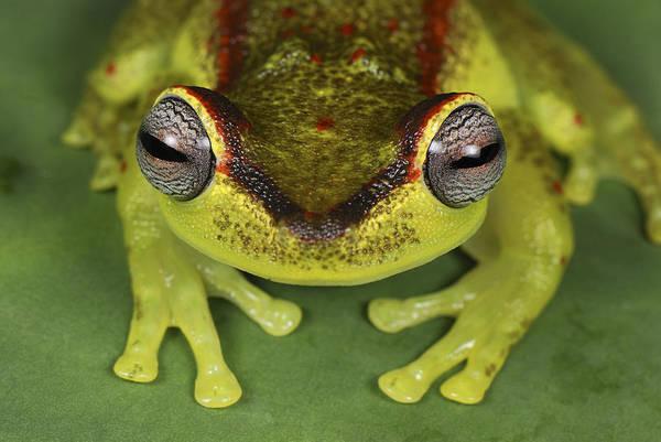 Photograph - Tree Frog Hyla Rubracyla At Night by Thomas Marent