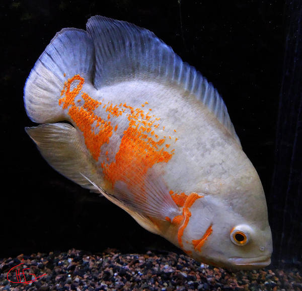Photograph - Tropical Fish  by Colette V Hera  Guggenheim