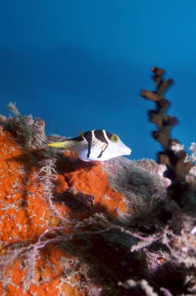 Balloonfish Photograph - Valentini's Sharpnose Puffer by Georgette Douwma
