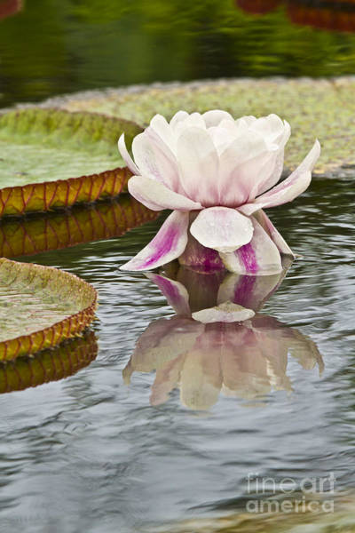 Victoria Amazonica Wall Art - Photograph - Victoria Amazonica Water Lily Flower Vertical by Heiko Koehrer-Wagner