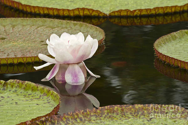 Victoria Amazonica Wall Art - Photograph - Water Lily Victoria Amazonica by Heiko Koehrer-Wagner