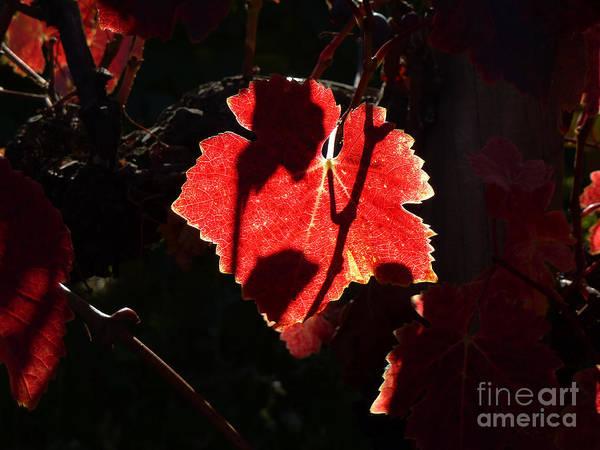 Photograph - Vineyard 33 by Xueling Zou