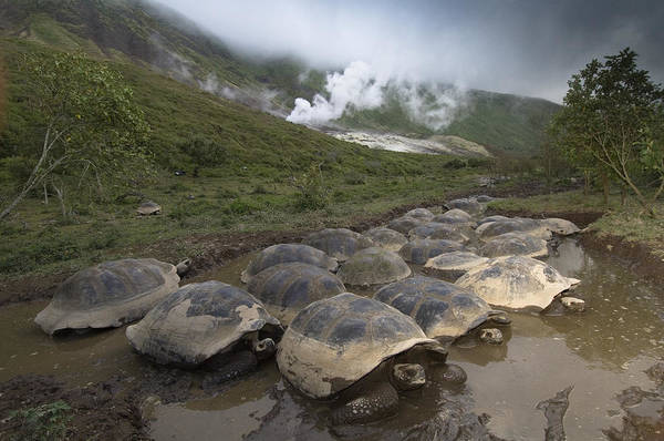 Photograph - Volcan Alcedo Giant Tortoise Geochelone by Pete Oxford