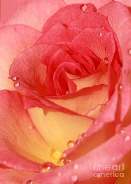 Photograph - Wet Rose by Sabrina L Ryan