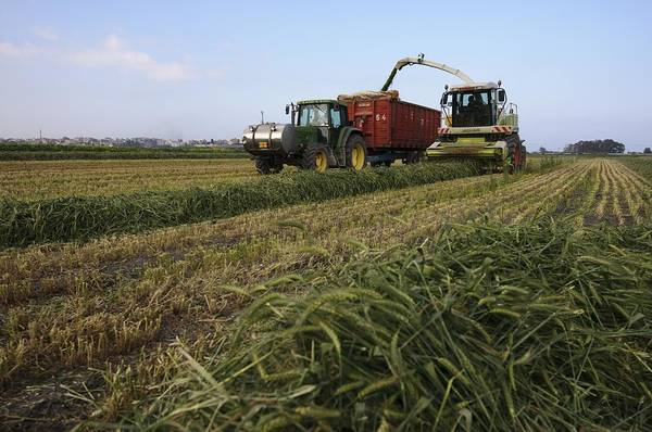 Kibbutz Photograph - Wheat Harvest For Silage by Photostock-israel