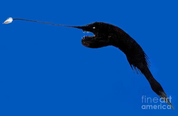 Photograph - Whipnose Seadevil by Dante Fenolio