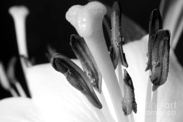 Photograph - White Lilly On Black by Balanced Art