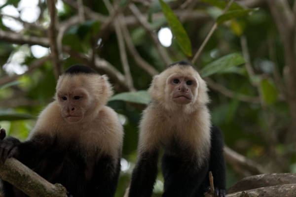 Photograph - White-throated Capuchin by Craig Ratcliffe